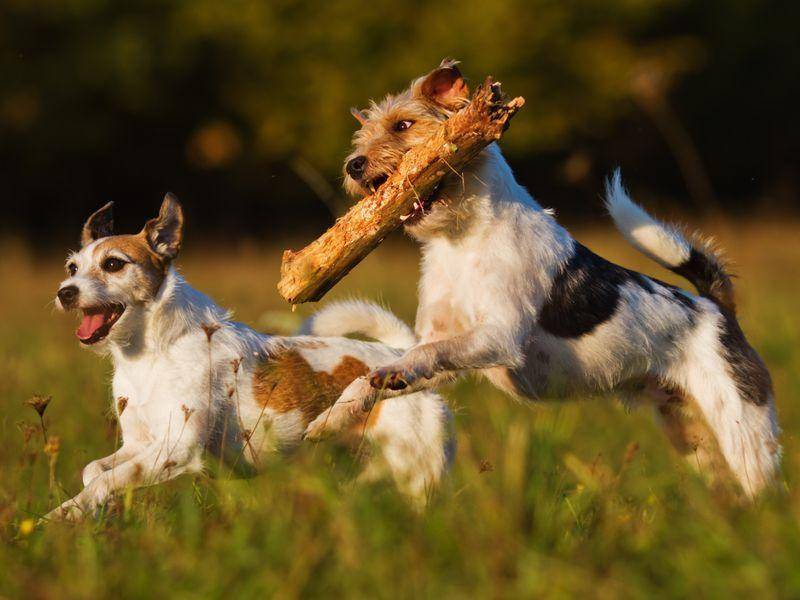 Zwei Jack Russell zeigen, dass Hunde am liebsten im Doppelpack spielen