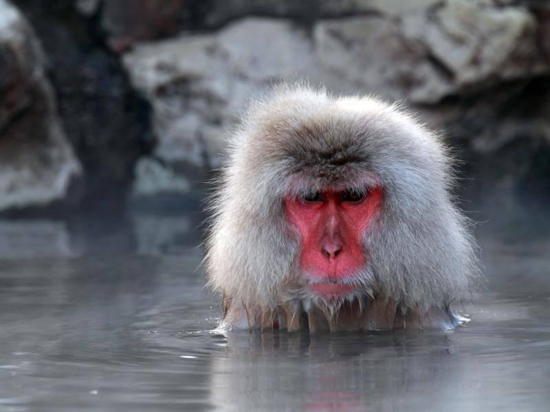 Japanmakak: Affe nimmt Entspannungsbad