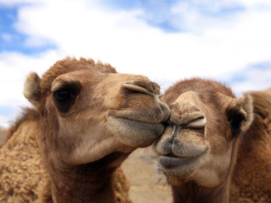 Kamele: Lässige Tierliebe in der Wüste