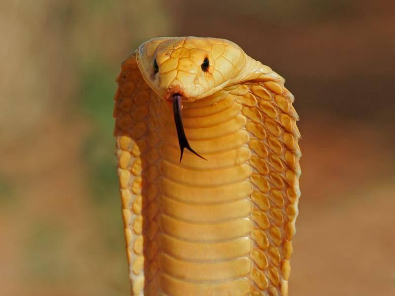 Die Kapkobra gehört zwar zu den kleinsten Exemplaren dieser Schlangenart, gilt aber als die giftigste