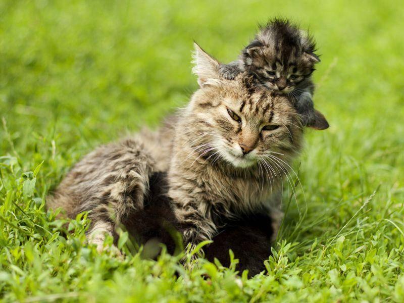 Die Frechheit hat dieses Tiger-Kitten wahrscheinlich eher von seinem Vater — Bild: Shutterstock / Kozub Vasyl