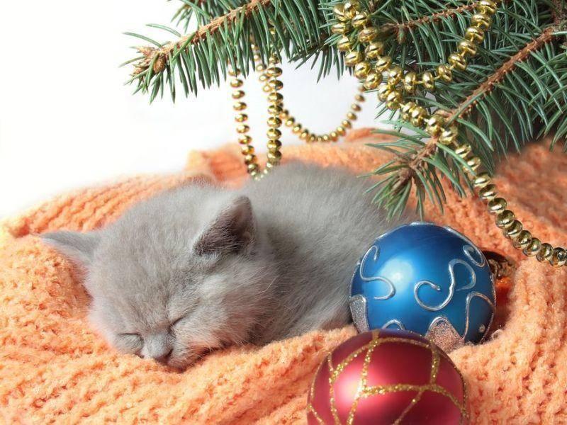 Immer in der ersten Reihe sein: Katzenbaby hat seinen Schlafplatz unterm Weihnachtsbaum