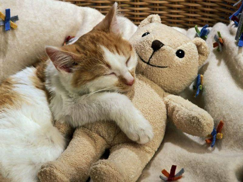 Teddybär? Perfekter Schlafplatz für diese rot-weiße Hauskatze