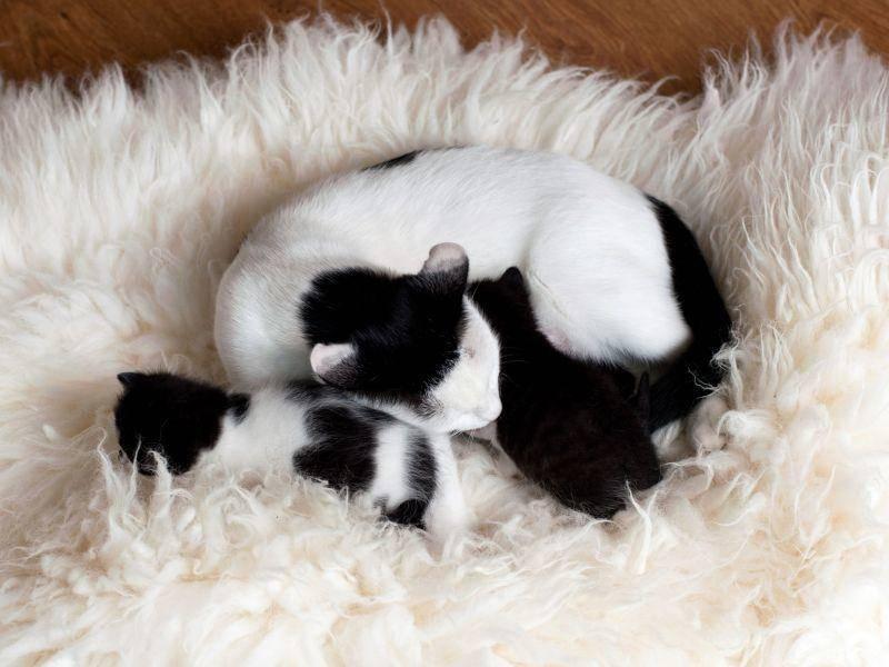 Hübsch: Katze und Kitten mit Schwarz-Weiss-Muster — Bild: Shutterstock / Velychko