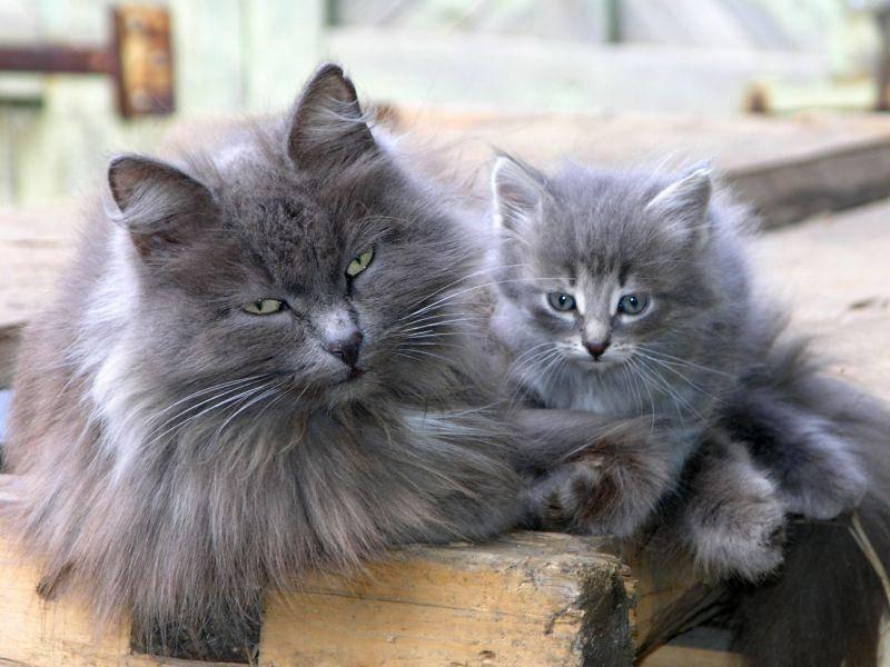 Langhaarkatze mit ihrem Kitten: Schwer zu entscheiden, wer da hübscher ist