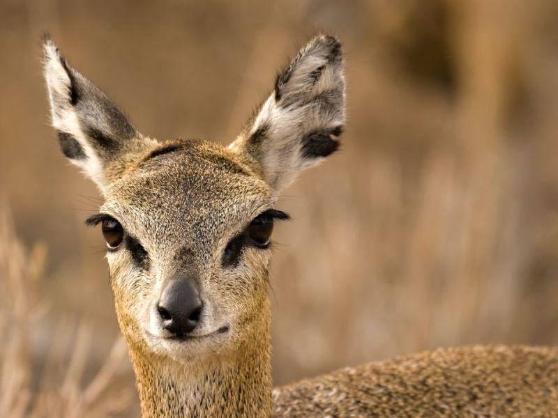 Klippspringer: Die Antilope springt ganze acht Meter aus dem Stand in die Höhe