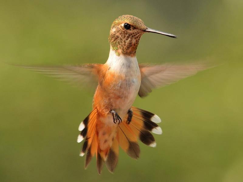 Kolibri: Mit sechs Zentimetern der kleinste Vogel unseres Planeten