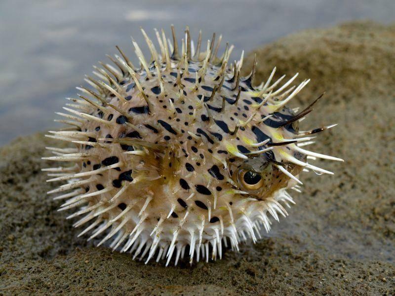 Kugelfisch: Bestimmte Körperteile sind extrem gitig und führen beim Verzehr zum Tode – Bild: Shutterstock / Acon Cheng