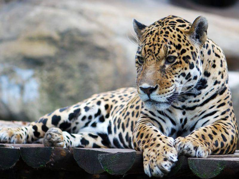 Der Leopard ist in den verschiedensten Regionen zu Hause und sein Fellmuster sehr anpassungsfähig