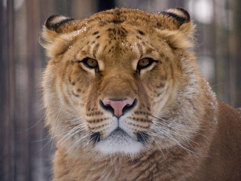 Liger: Eine skurille Kreuzung aus Tiger und Löwe