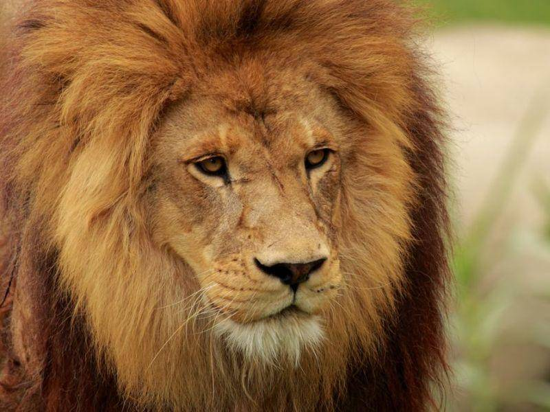 Für den Löwen ist ein fehlendes Fellmuster bei der Jagd von Vorteil