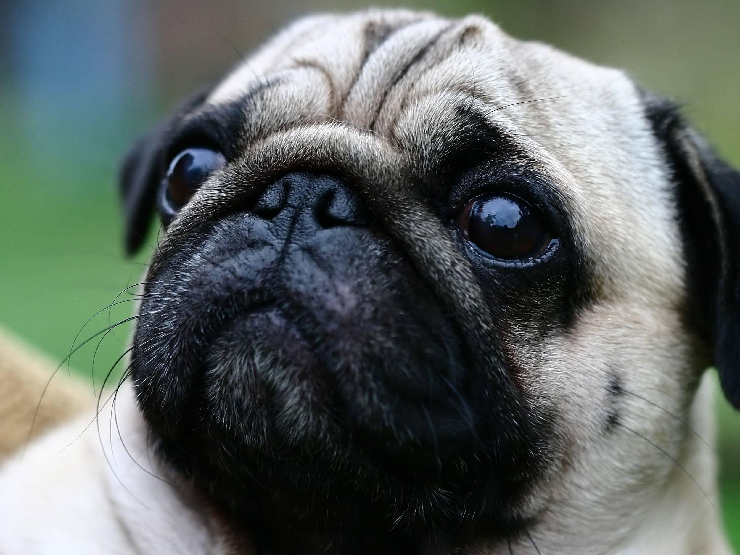 Mops von Nahem: Ein Hund mit Charakter