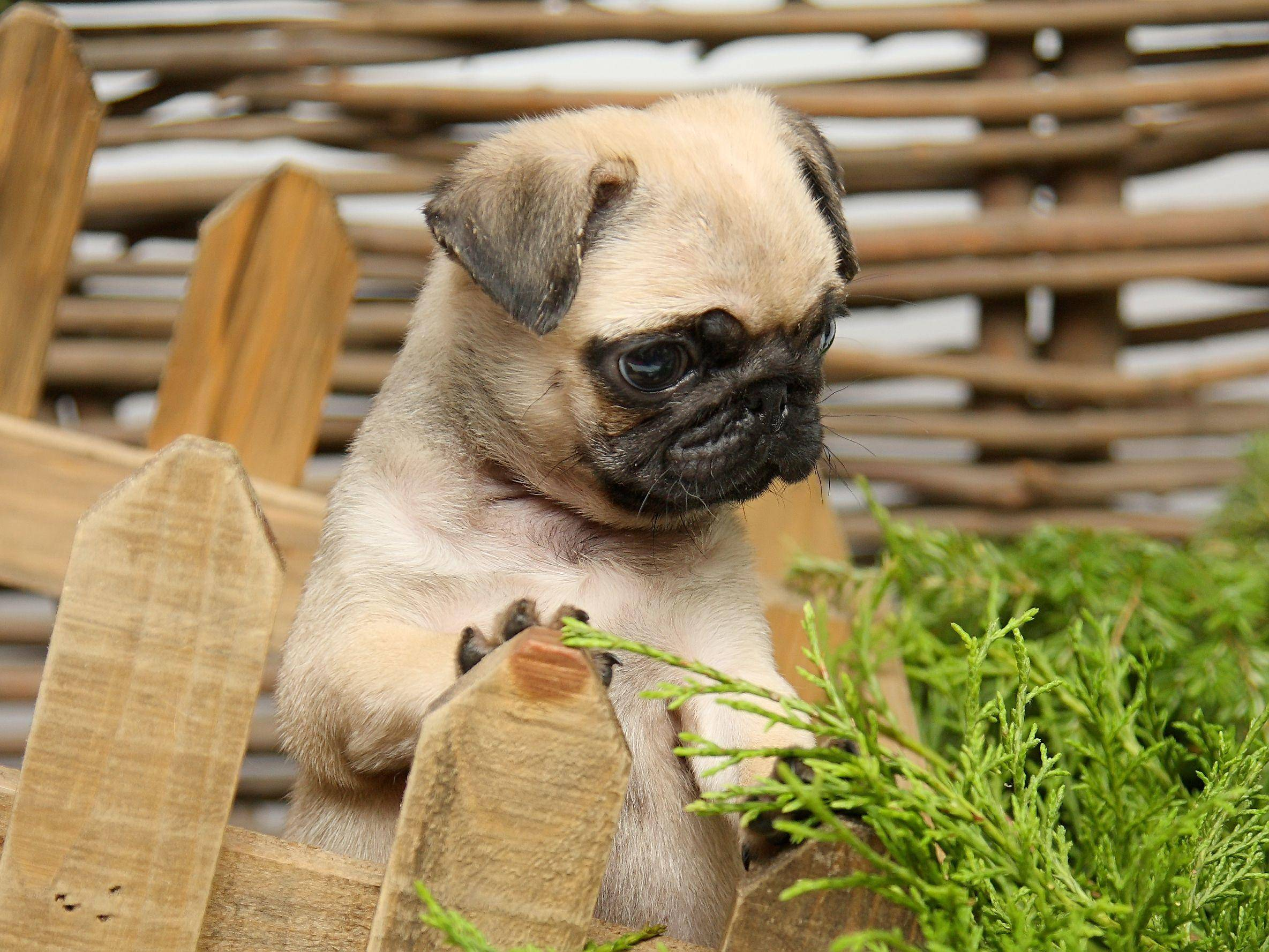 Mops als Hundewelpe: Zum Knuddeln