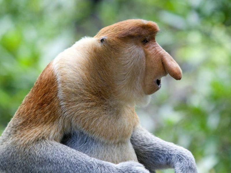 Nasenaffe: Die männlichen Affen haben einen überaus groteskes Riechorgan