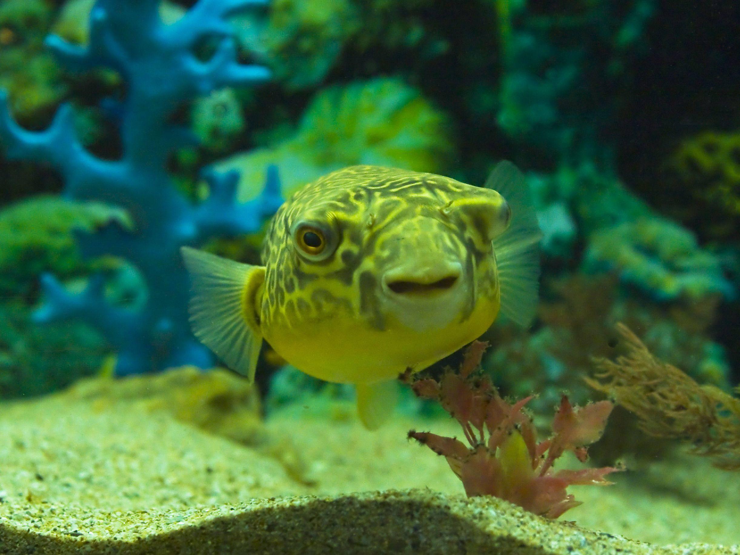 Nilkugelfisch: Ein außergewöhnlicher Wasserbewohner