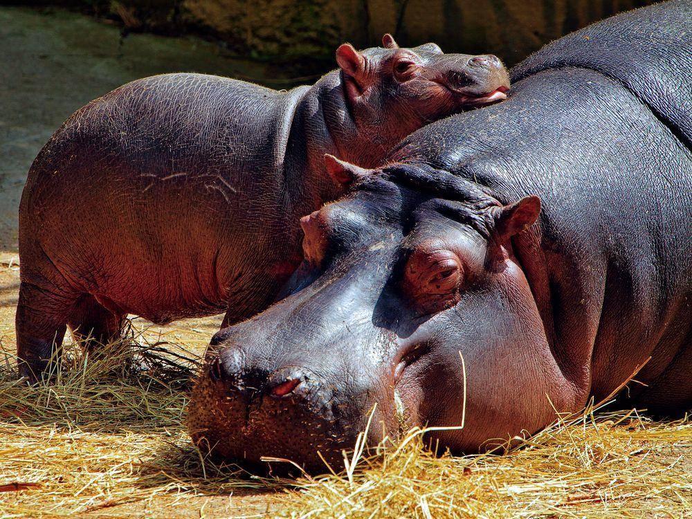 Tierliebe unter Nilpferden: Mama und Kind