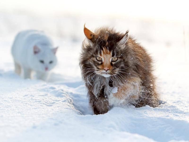 Norwegische Waldkatze mit Freundin im Schnee unterwegs