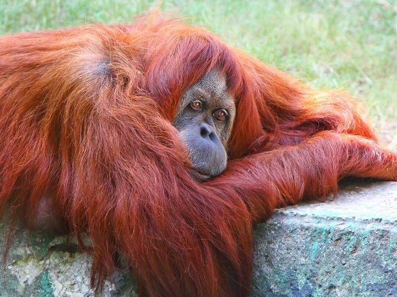 Gefährdeter Orang-Utan träumt von einer besseren Welt