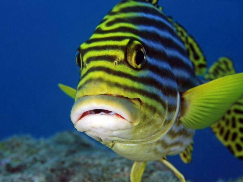 Fisch mit Streifen: Orientalische-Suesslippe