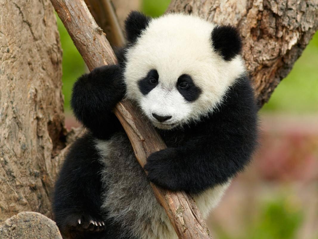 Klettern im Baum: Der Pandabär ist sportlicher, als er aussieht