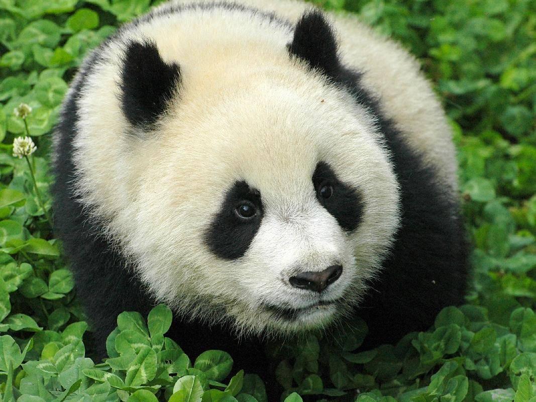 Pandabär auf Tour