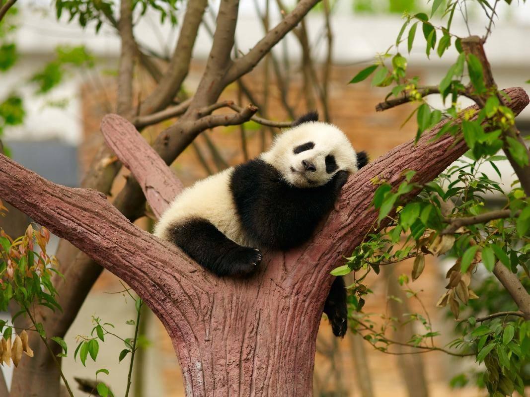 Junger Pandabär: Gemütlich im Baum abhängen