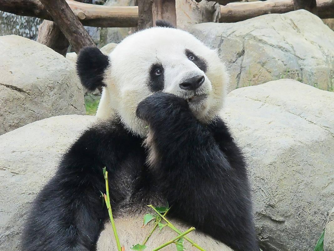 Lecker, Mittagessen: Pandabär bei der Bambus-Mahlzeit