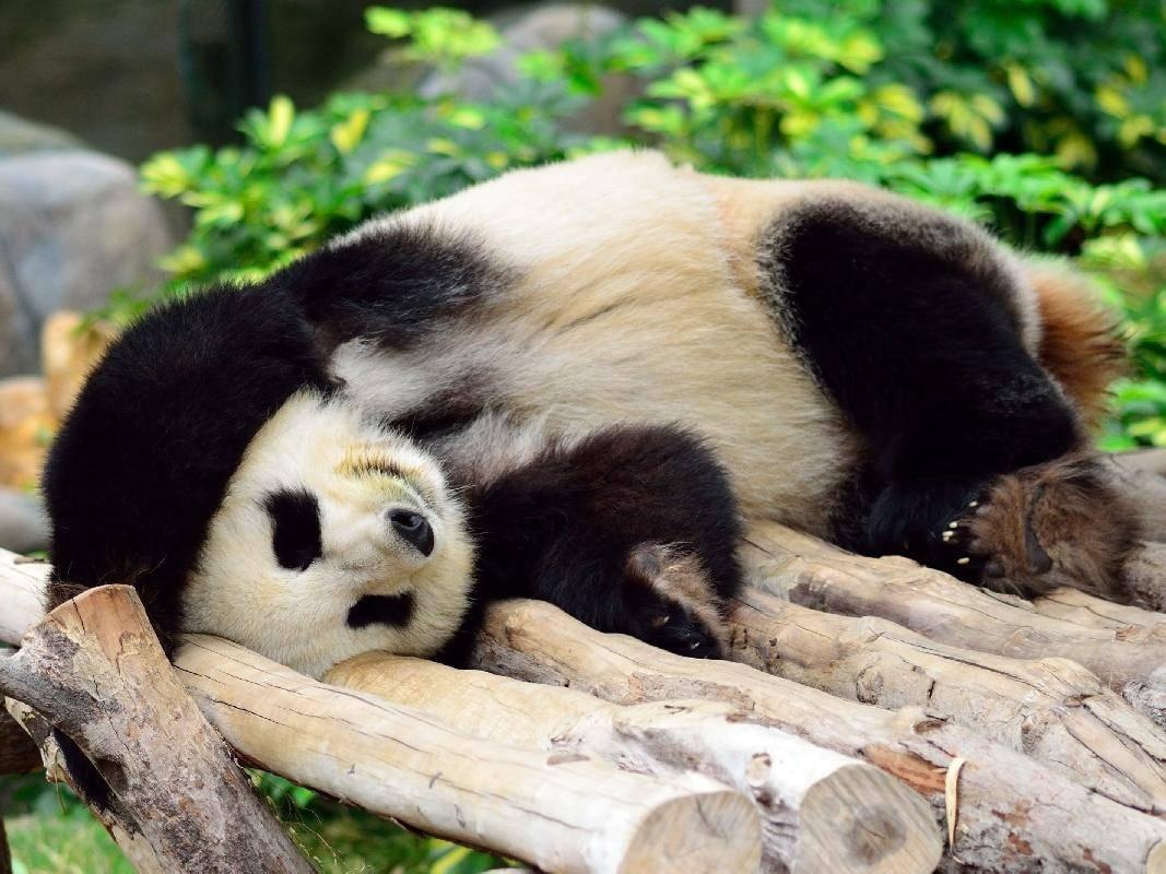 ...Obwohl, große Pandabären eigentlich auch!