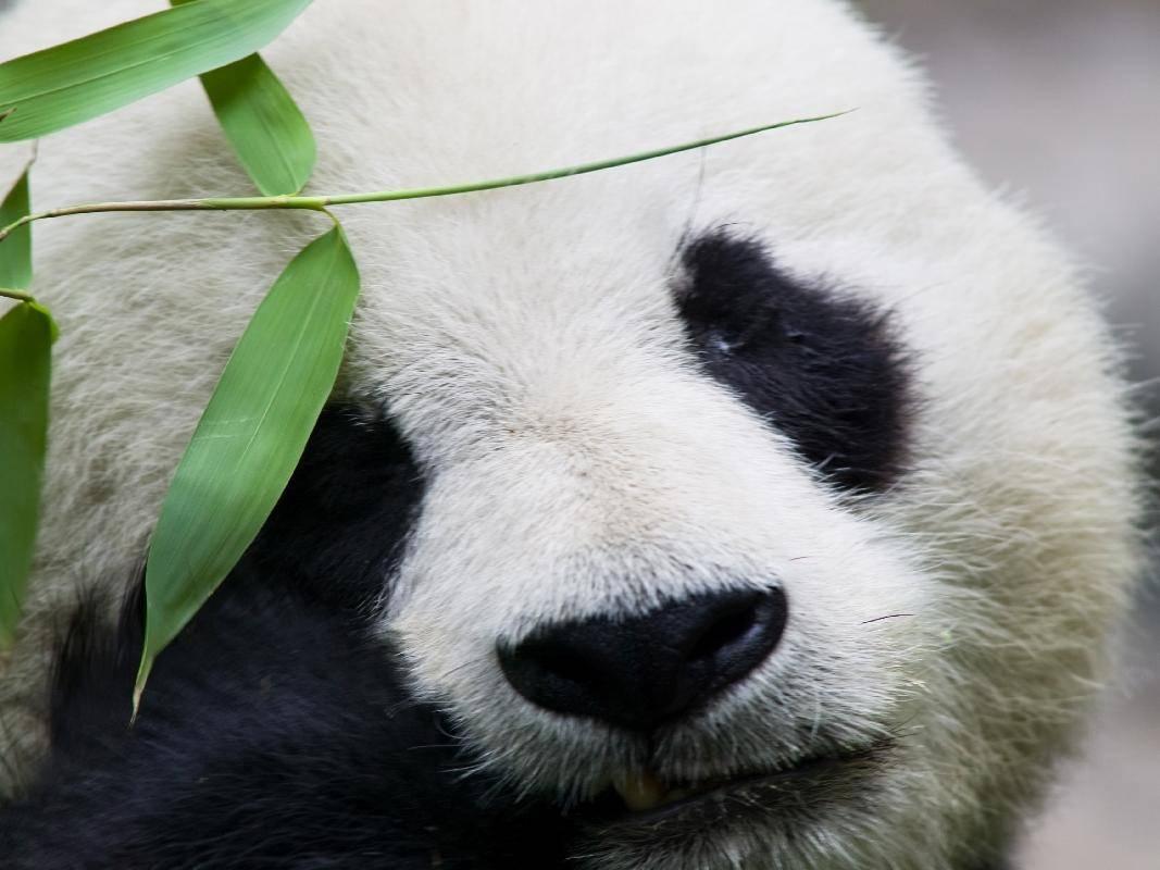 Pandabär ganz nah: Ein schönes Tier