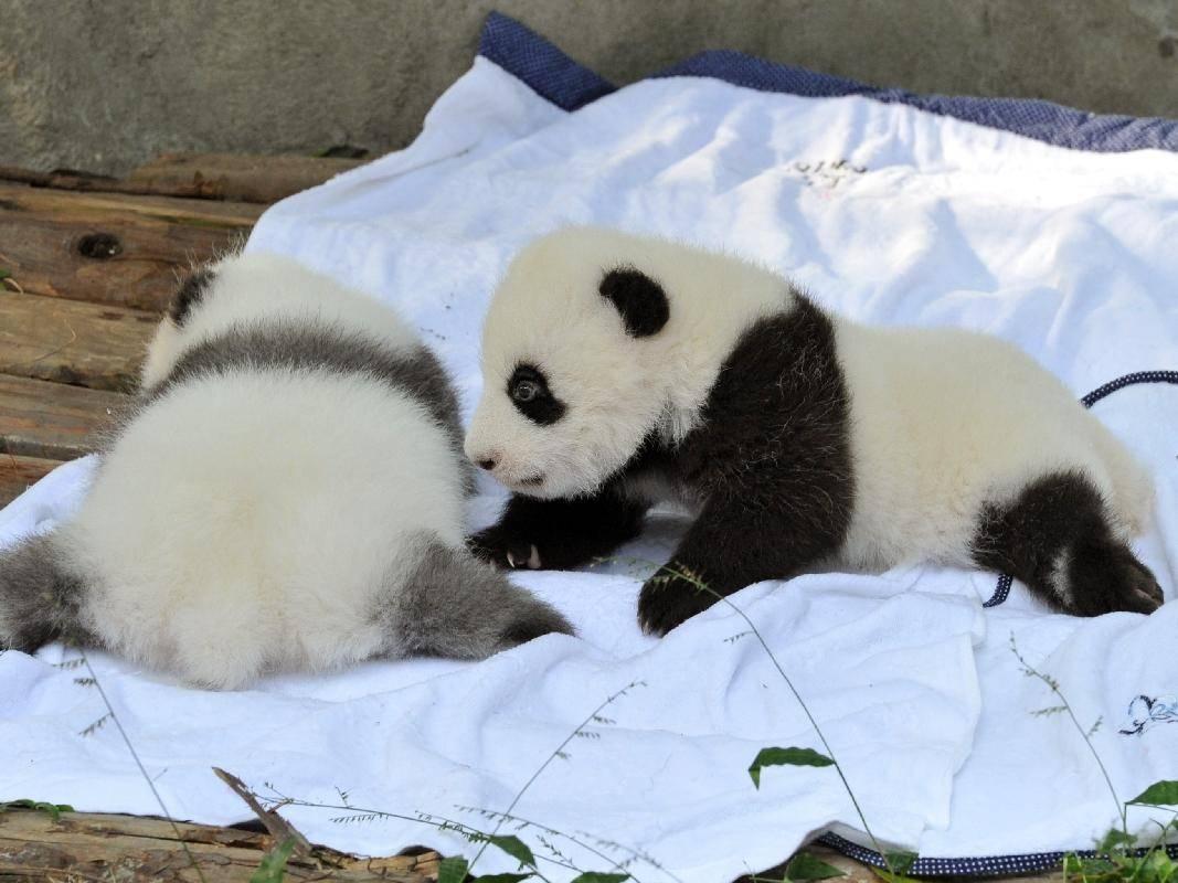 Noch ganz klein: Pandabären lernen die Welt kennen