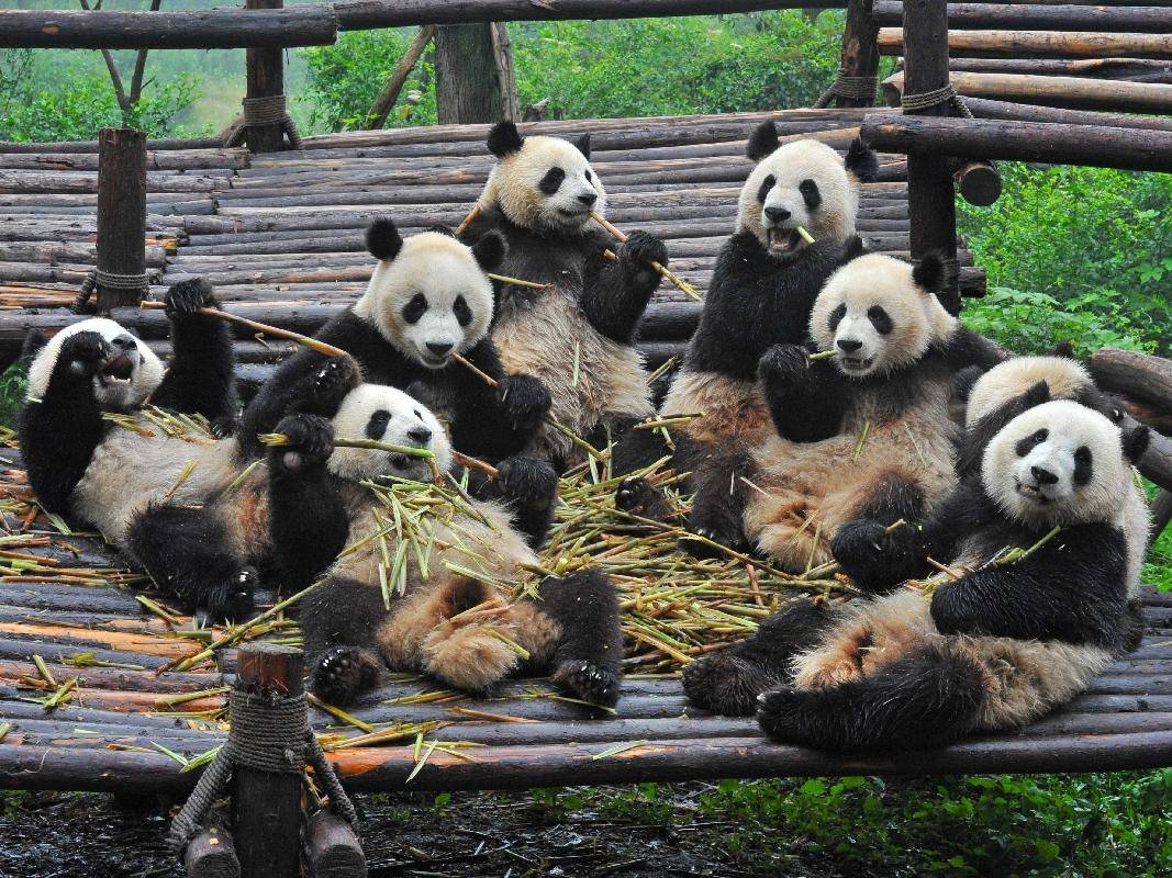 Pandabärenversammlung