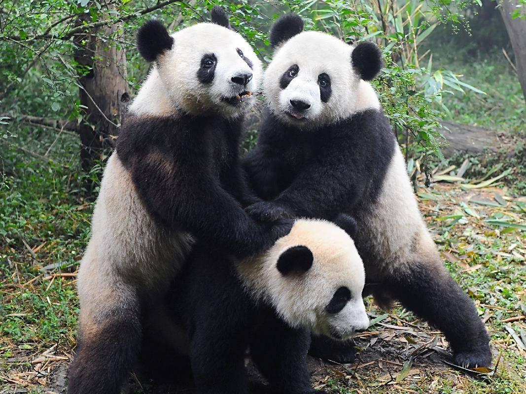 Pandabären posieren für´s Foto: Eine lustige Gruppe