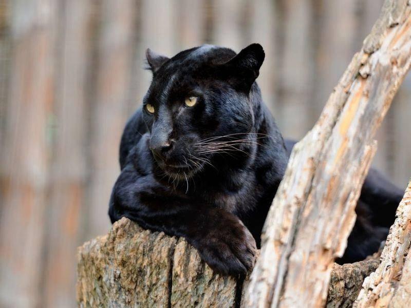 Der schwarze Panther besitzt ein Fellmuster, nur sieht man es nicht — Bild: Shutterstock / Volodymyr Burdiak