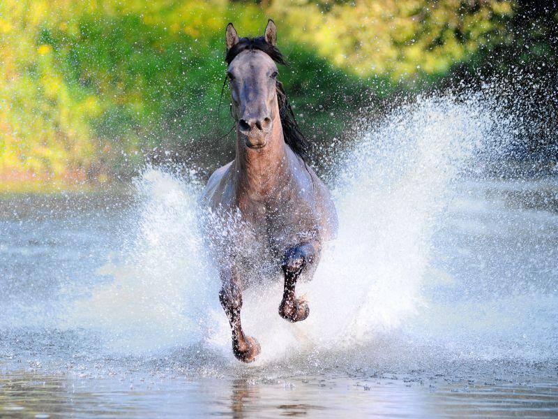Galopp durchs Wasser? Für Pferde ein Vergnügen