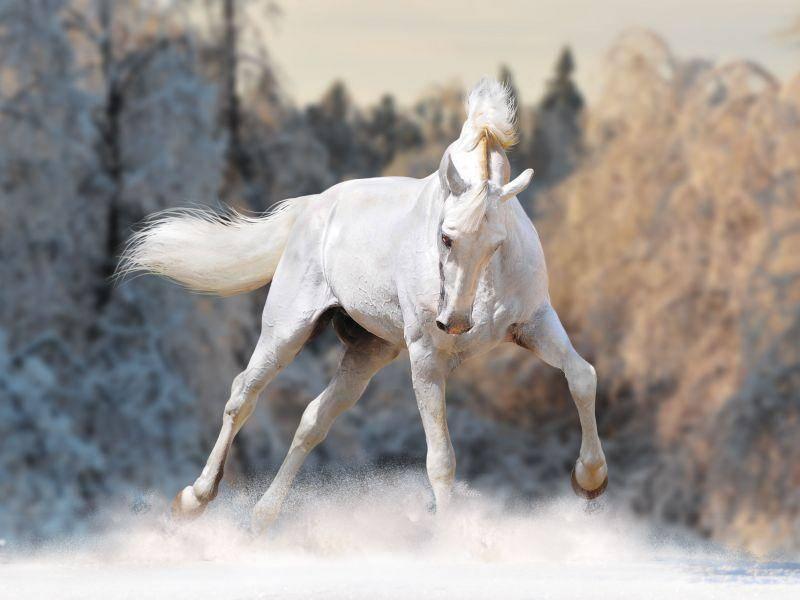 Galoppierender Schimmel im Schnee: Ein Traum für Pferde