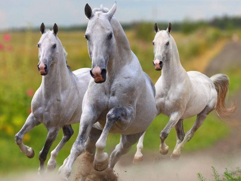 Weiße Pferde galoppieren um die Wette: Auf Los geht's los!
