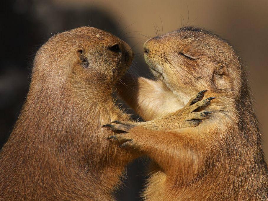 Präriehunde: Tierliebe auf knuffige Art