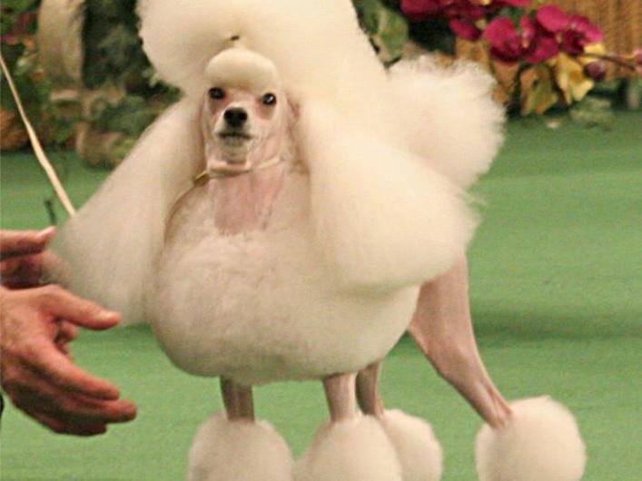 Frauchen findet's schön: Pudel auf New Yorker Hundeschau