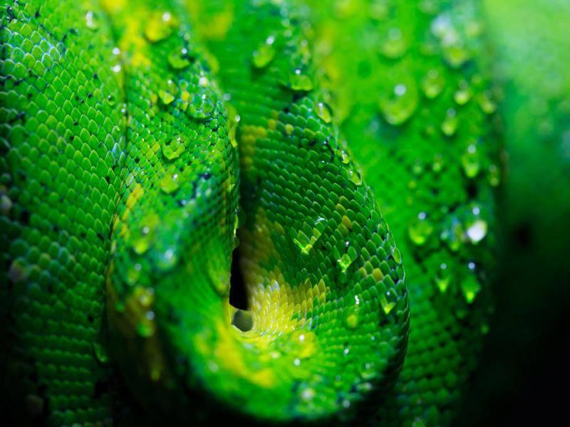 Python-gruen-Nahaufnahme