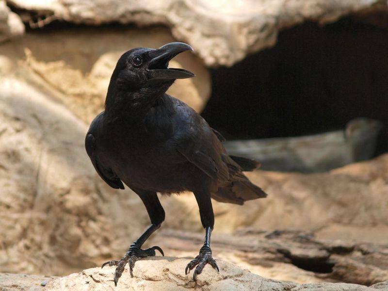 Raben: Die Vögel sind in der Lage zu zählen