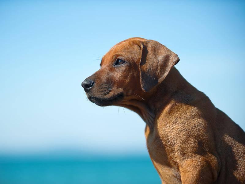Rhodesian-Ridgeback-Hund-Meer