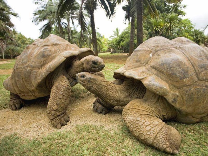 Platz 5: Riesenschildkröten: Die 2006 verstorbene Harriet wurde 176 Jahre alt
