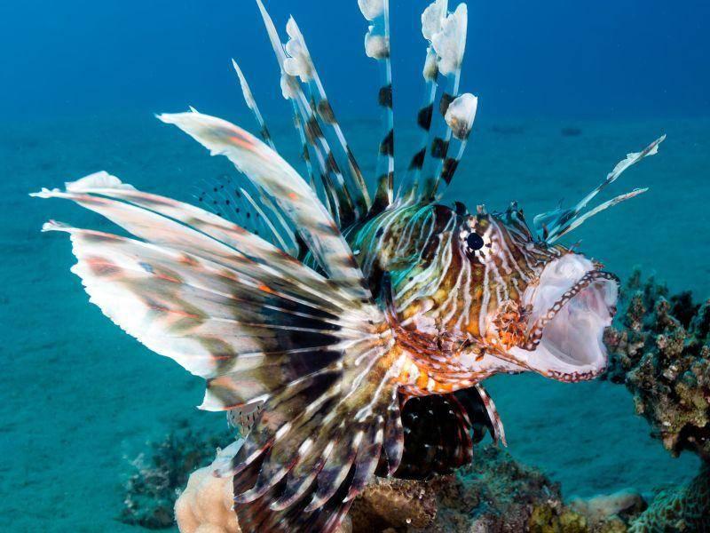 Rotfeuerfisch: Besonders hübsch, aber auch sehr gefährlich – Bild: Shutterstock / Richard Whitcombe