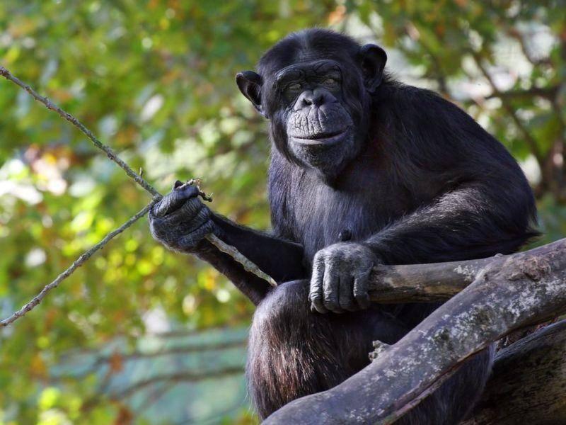 Affen: Sie benutzen zahlreiche Werkzeuge wie selbstverständlich