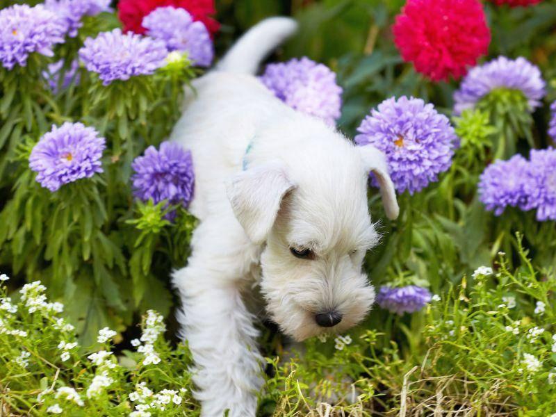 Der Frühling ist Zeit für ausgedehnte Hundespaziergänge: Ein weißer Schnauzer im Blumenmeer — Bild: Shutterstock / MaraZe