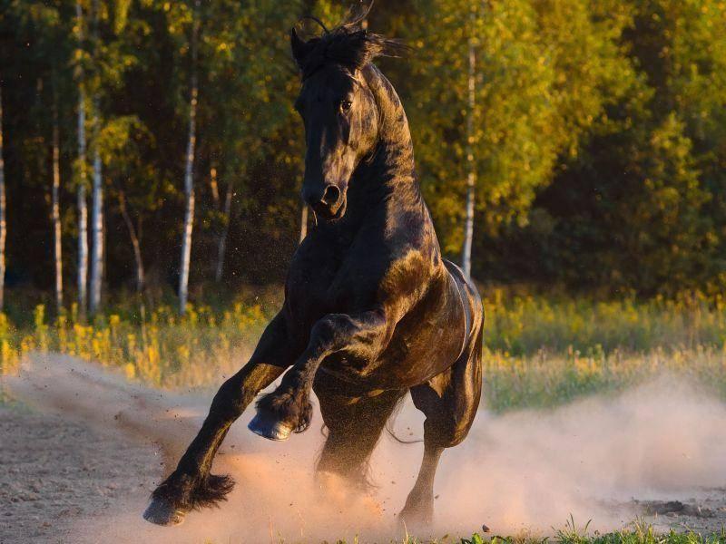 Ein Rappe macht Tempo im Galopp: Pferdespaß und Lebensfreude pur
