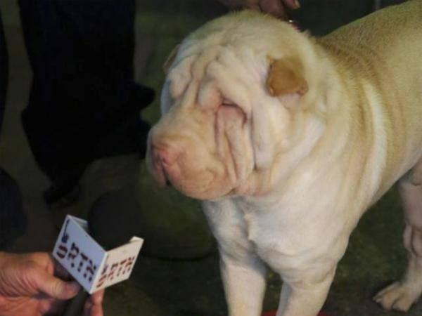 Shar Pai: Ein Hund verliert den Durchblick auf der Westminster Dog Show