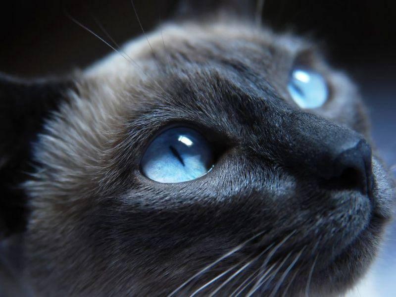 Typisch für die Siamkatze: Leuchtend blaue Augen