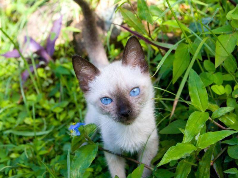 Siamkatzen: Neugierig und gern unterwegs