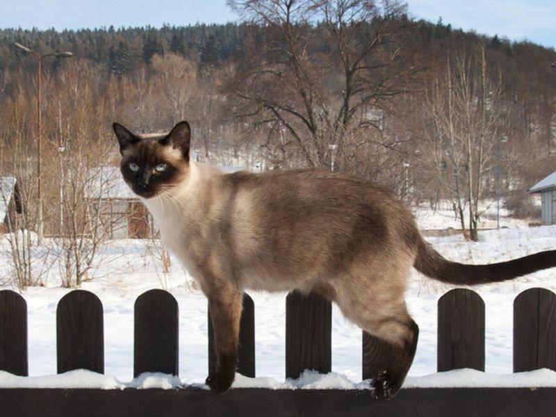 Auf der Mauer auf der Lauer: Siamkatze auf Tour